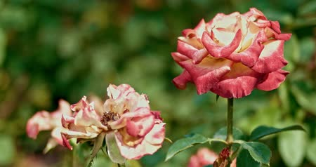 Флорес : Red and white roses in autumn garden, some planes for montage.