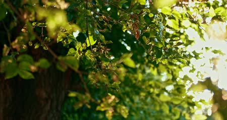 develop : Elm tree branches backlit. Damaged elm leaves fluttering on the wind.