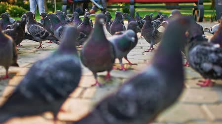 besleyici : Ground level view of crowd of city pigeons on pavement slow motion. Stok Video
