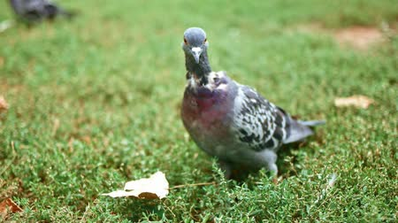 birdie : Feral pigeon on grass in slow motion Stock Footage