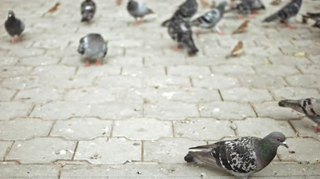 simbolismo : Sparrows and pigeons feeding on pavement in slow motion