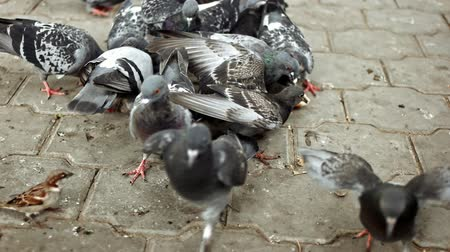 birdie : Flock of pigeons feeding in park on dry bread