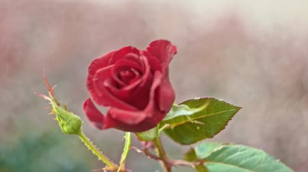 perfumy : red rose in slow motion moving on wind Wideo