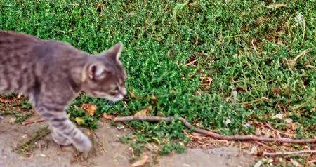 admission : Gray cat walking outside along the grass edge