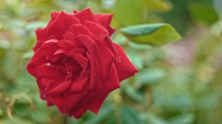 arbusti : Closeup red rose in slow motion moving on wind Filmati Stock