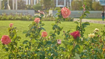 integração : Rose bushes moving on wind in slow motion.