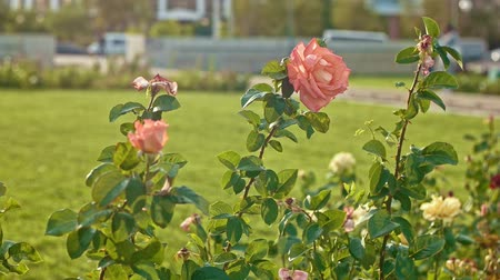 rosa : Garden with wilting in autumn roses slow motion