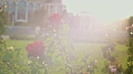 floweret : Rose in park with sun flares in slow motion