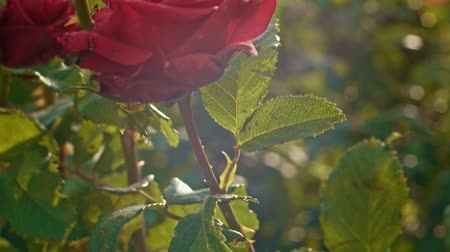 floriculture : Closeup of red garden rose backlit in slow motion