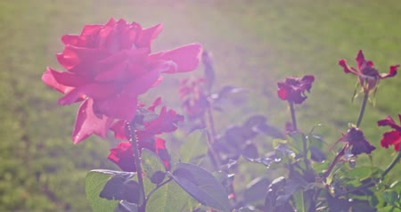 Флорес : Red rose blooming tender blossom bush plant in botanical garden in 4k close up shot. Tender blooming flower pink rose in garden backlit with flares Стоковые видеозаписи