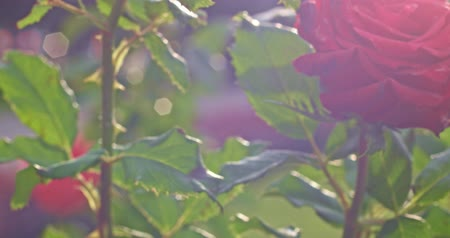 rosehip : Rose blooming tender blossom bush plant in botanical garden in 4k close up shot. Tender blooming rose in garden backlit with sun flares