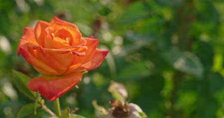floweret : Orange rose blooming blossom bush in botanical garden in 4k close upshot. Tender blooming flower rose in garden backlit