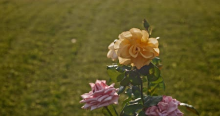 rosebush : Retro looking footage of roses in garden backlit dyed colors Stock Footage