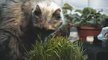 býložravý : Gray cat is eating fresh grass. The cat is eating grass on the windowsill in the blinking light