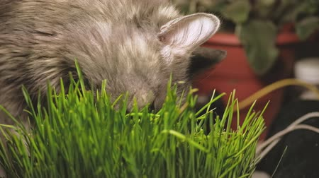germinated : Cat eating from vase of fresh catnip grass
