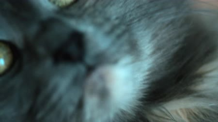 benekli : Extreme closeup shot of gray cat holding by hands selective focus very shallow DOF Stok Video