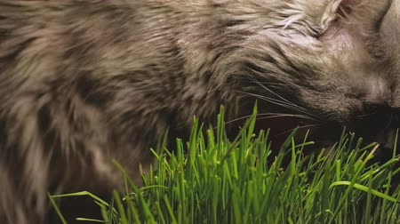 germinated : Gray cat with funny face eating organic grass close-up shot.