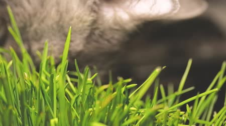 germinated : gray Cat eating cat grass. grey cat eating catnip grass very close-up shot