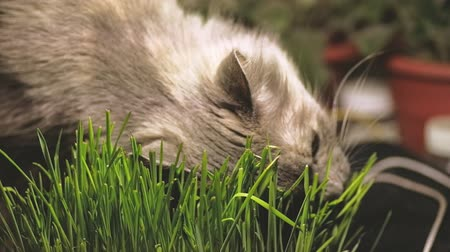 germinated : Gray cat is eating fresh green cat-grass or pet grass. Natural hairball treatment Stock Footage