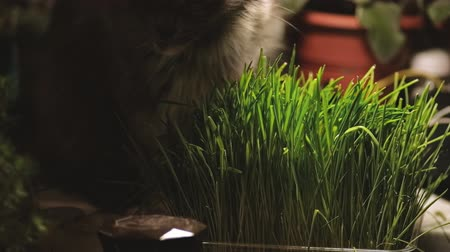 germinated : Cat eating sprouted oats backlit