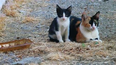 lucky charm : Kitty and her mom calico cat looking at camera whle lying on dirt Stock Footage