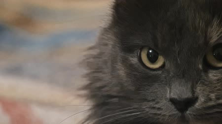 juba : Macro of cats face grainy footage Stock Footage