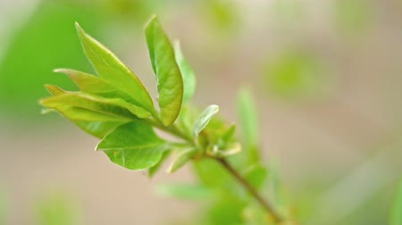 bassê : Macro footage of fresh green leaves just open on the tops of branches in early springtime.