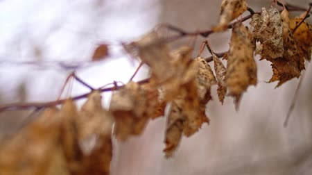 fade in : Many dry leaves hanging on the dead branch in fall autumnal colds