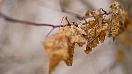 zen como : Row of dry leaves on dry branch of tree shallow DOF Stock Footage