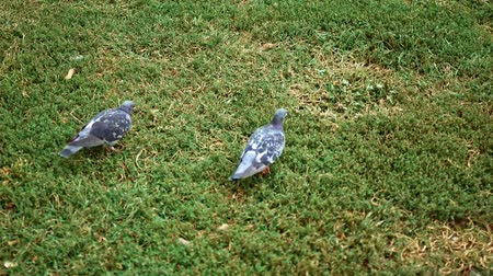 Slow morion of city doves walking on grass in park from above view