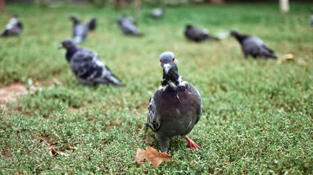 Flock of city pigeons sits on grass in city park slow motion shoot