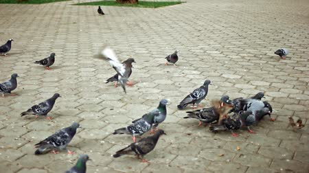 seduce : Flock of pigeons feeding in park and fight for food slow motion Stock Footage