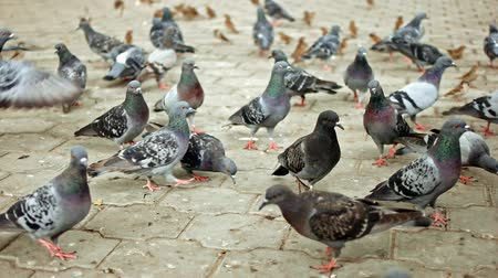 Many pigeons on park pavement feeding in slow motion 影像素材