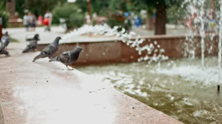 Pigeons play about fountain in park in slow motion 影像素材