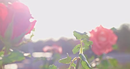 Vintage shoot roses in park with flares and soft misty light of setting sun