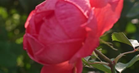Big Pink Rose in garden backlit, vintage looking footage.