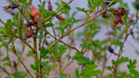 Barbaris bush plant berries on the branches shoot