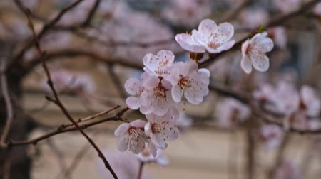 Blooming cherry tree close-up with branches covered with many small white florets pan up shoot 影像素材