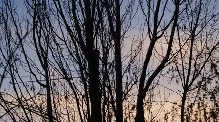 holdfény : Dark tree silhouettes in front of the sunset sky Stock mozgókép