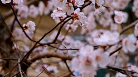 успокаивающий : Cherry in bloom closeup of many small flowers of cherry-tree in warm April