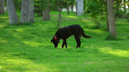 társ : Black dog in red collar sniffing grass in public park