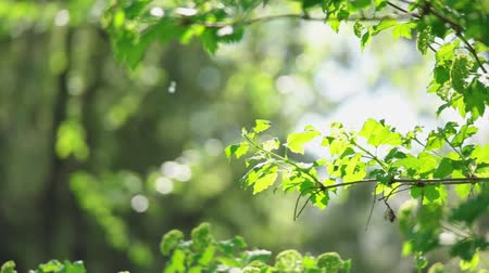 raios de sol : Pan footage of fresh green forest leaves in slow motion Stock Footage