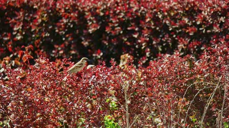 young sparrow : Couple of sparrows hiding in red decorative bush in public park