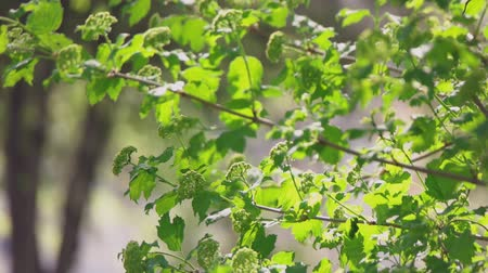 raios de sol : Fresh green branches of garden trees moving on wind in slow motion.