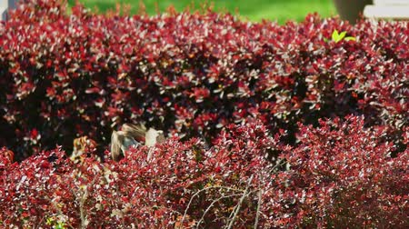 mus : Bird-watching in the park. Couple of sparrows hide in red-leaved decorative shrub