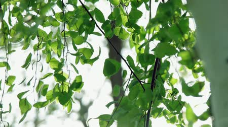 alfândega : Fresh green leaves of birch tree swaying in the wind in slow motion clip footage Stock Footage