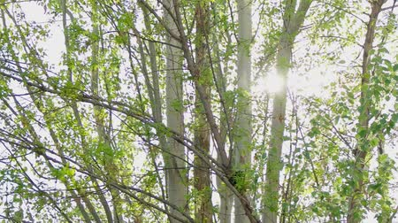 parlayan : Birch trees in sunny day in public park