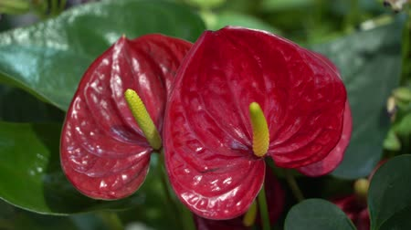 hibiscus : 4k UHD cinematic footage of colourful tropical flower, close macro selective focus.
