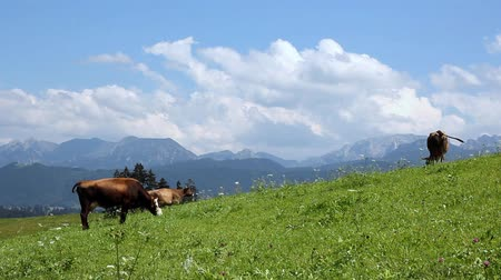 otlama : cows grazing on a pasture Stok Video