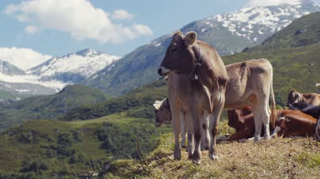 nações : A big Alpine cow in the mountains is looking towards the camera, than turns back and licks its back. Several cows and snowy, high mountains on the background. Farming activities. Animal portrait.